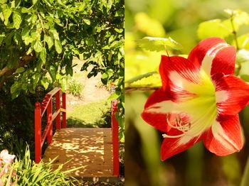 Bridge-lily